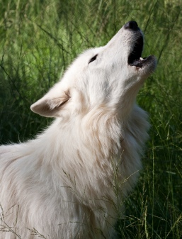 Howling_White_Wolf