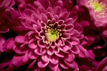 nature-flower-pink