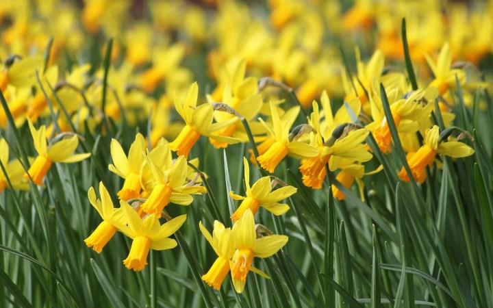 daffodils and daydreams